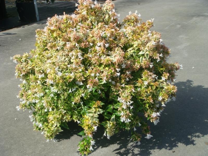 Абелия - Abelia floribunda