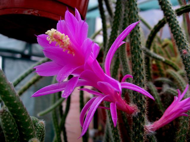 aporocactus.jpg