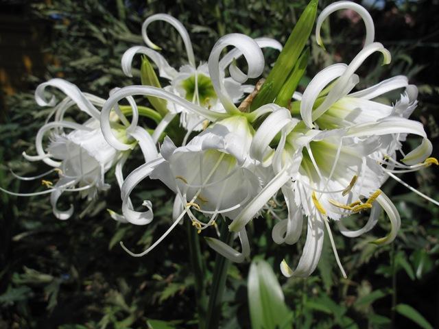 Исмене - Ismene (Hymenocallis) Festalis