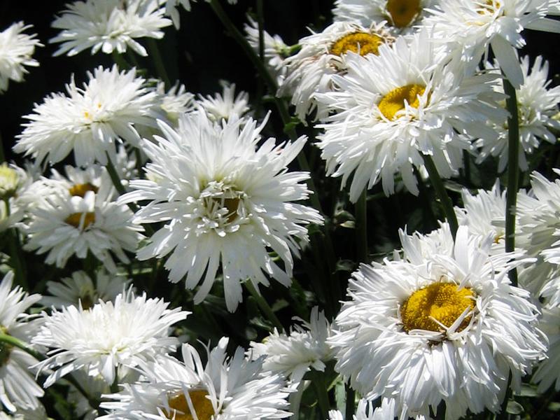 Маргаритка - Leucanthemum maximum