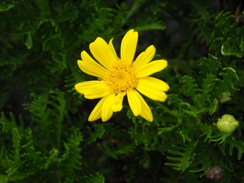 Leucanthemum maximum