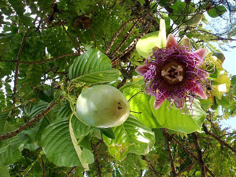 Пасифлора - Passiflora