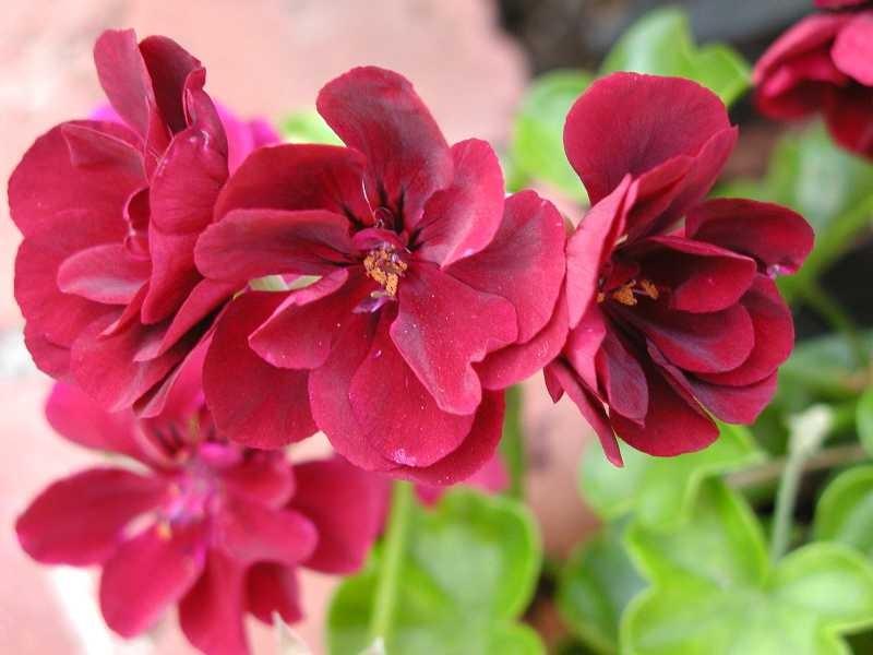Сакъзче (висящо мушкато) - Pelargonium peltatum
